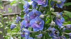 Delphiniums are well-loved by so many with their gorgeous, blue flowers that tower over the garden. With a few tricks, you can grow them year after year with two sets of blooms each summer.