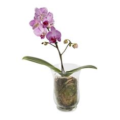 Phalaenopsis Orchid Plant In Glass