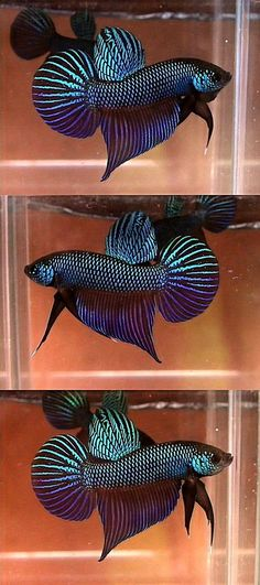 See more in the All Things Aquaria board: https://www.pinterest.com/JibinAbraham/all-things-aquaria/ Wild Betta Smaragdina #TropicalFishFreshwater