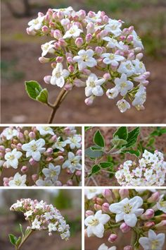 Burkwood viburnum has sweet, spicy flowers, perfect for the scented garden