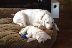 Labrador mom and puppy - Precious #LabradorRetriever