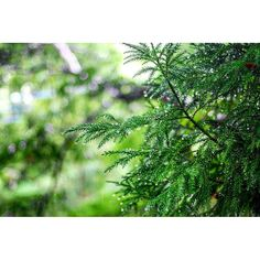【mattun_】さんのInstagramをピンしています。 《雨の日も悪くない。  #雨 #あめ #雨の日 #杉 #雨水 #水滴 #緑 #ミドリ #木 #森林 #玉ボケ #山の中 #カメラ初心者 #ファインダー越しの私の世界 #カメラ越しの世界 #群馬 #rain #shower #rainyday #Japanese_cedar #forest #waterdrops #instapic #instagood #instalike #gunma #japan》