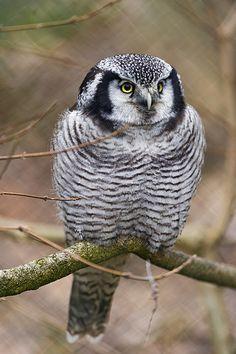 A nice perched Northern Hawk-Owl (Surnia ulula),