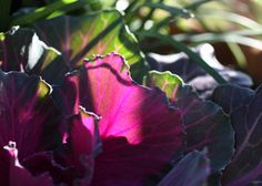 Back lit Kale in saturated Magenta and Green