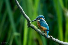 Photograph IJsvogel | Kingfisher by Caroline Wirtz on 500px