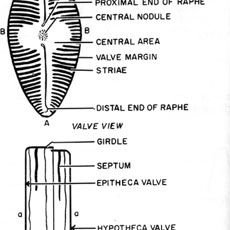 Diatoms Of The Southern California Bight Major Group Illustrated Glossary Marine Biology Southern California Illustration