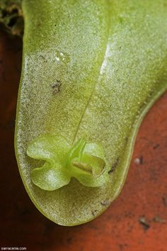Pinguicula primuliflora--In the wild or when grown well, this plant produces adventitious plantlets on its leaves.