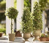 Faux Potted Baby Tears Topiary   Pottery Barn