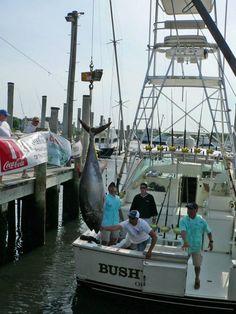 "Bertram ""Bushwhacker"" placing a nice #Bluefin at #Tuna Fest 2013 in Cape Cod! #sportfishing #luxury #yacht"
