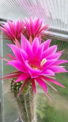 Beautiful Flowers Photos, Beautiful Flowers Wallpapers, Unusual Flowers, Rare Flowers, Flower Photos, Amazing Flowers, Beautiful Roses, Cool Flowers, Rose Flower Wallpaper