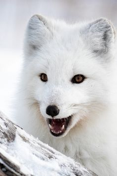 Arctic Fox by Jory Griesman on 500px