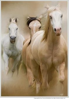 Stallion Run.......................... awesome! isn't God magnificent! I'm so thankful for these majestic beauties.