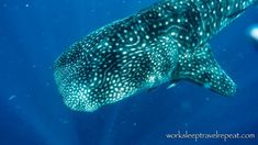 During our first day at Nosy Be, we went out by boat to swim with these magnificent creatures 🐋! October and November are prime months to see whalesharks around Nosy Be, as if the baby lemurs weren't enough to convince you that this is an excellent time to visit Madagascar!  Follow @worksleeptravelrepeat  #whaleshark #beach #dreamdestination #diving #ocean #whale #shark #gopro #wildlife #wildlifephotography #travel #traveling #vacation #visiting #instatravel #instago #instagood #trip… Lemurs, Koh Tao, Madagascar, Wildlife Photography, Gopro, Diving, Shark, Going Out, November