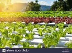 Vegetable hydroponic system / young and fresh vegetable Frillice Iceberg salad growing garden hydroponic farm salad on water without soil agriculture Stock Photo - Alamy Hydroponic Systems, Hydroponics, Iceberg Salad, Growing Gardens, Fresh Vegetables, Agriculture, Vineyard, Stock Photos, Water