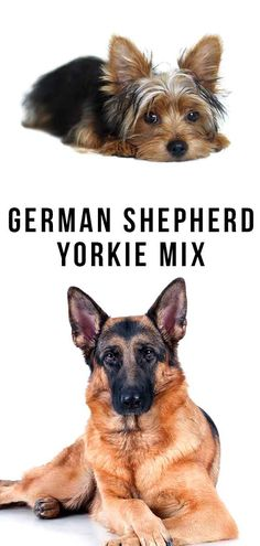 The German Shepherd Yorkie mix has a big range of possible outcomes. We look at how to predict what your puppy might be like when he grows up. German Shepherd Rescue, Corgi Mix, Purebred Dogs, Yorkshire Terriers, Happy Puppy, Puppy Mills, Mixed Breed, New Puppy, Yorkie