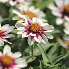 Here it is, the bedding Zinnia of our dreams! The 'Zahara' series introduced in 2009 immediately became famous for its resistance to mildew and leaf spot, its nonstop blooms, and its larger flower size. Now the newest and best color, 'Starlight Rose,' has won a 2010 AAS award!These blooms are fully 2 ½ inches wide, and there's more of them ? they pop up all over super-compact plants, drawing bees and butterflies into the garden and absolutely wowing those hot, dry beds and ...