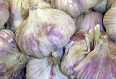 A member of the onion family, garlic (Allium sativum) has been cultivated for thousands of years and was most likely brought to this country by European immigrants. Today growing garlic has become popular in many home gardens.