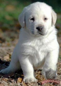 English Lab puppy! http://labrador.michiganpuppiesforsale.net/?id=267760