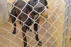 This is a ★☆ HEARTSTICK FACILITY ☆★ so ALL animals are in DANGER and are URGENT EMERGENCY!!! Please SHARE for URGENT RESCUE/FOSTER or ADOPTION, TAGS & PLEDGES for HEART a beautiful LAB found dragging leash who is EXTREMELY URGENT!! CLAYTON COUNTY ANIMAL CONTROL 1396 Government Circle, JONESBORO, GA 30236 Tel: 770-477-3509 https://www.facebook.com/photo.php?fbid=726065640745808&set=a.511463058872735.129181.339511346067908&type=1&theater