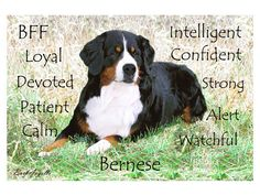 Bernese Mountain Dog Traits Metal Art Print by Barbara Augello for Dogimage