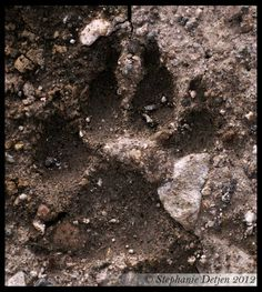 Alas I never saw the owner. There were a lot of red foxes living under the cabins at Togwotee Lodge but I never got a picture of them. This foot print was approximately 1 feet from the road in Yellowstone National Park. Yellowstone National Park, National Parks, Foot Prints, Red Fox, Gingerbread Man, My Animal, Foxes, Cabins, Wolf