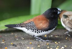 Red-backed Mannikin. South Africa
