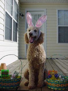 happy poodle bunny