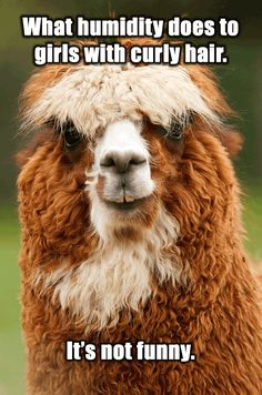 Funny Alpacas With Awesome Amazing Hilarious Hair Zoe And - 22 hilarious alpaca hairstyles