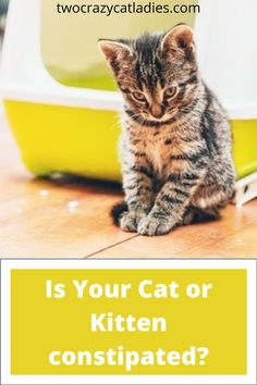 Would you know what to look for if your cat or kitten was constipated and more importantly, what steps would you take to make him or her feel better fast! Newborn Kittens, Baby Kittens, Cats And Kittens, Cat Cpr, Bottle Feeding Newborn, Feeding Kittens, Getting A Kitten, Cat Ages