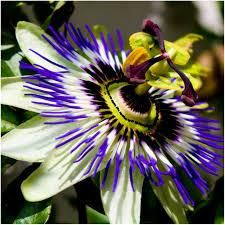 Passionflower Skin Benefits Blue Passion Flower Passion Flower Passiflora Caerulea