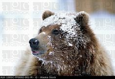Grizzly Bear Standing With Face Covered In Snow At The Alaska Wildlife Conservation Center In Alaska During Spring Canvas Art - Doug Lindstrand Design Pics x Grizzly Bear Cub, Bear Cubs, Bears, Spring Pictures, Wildlife Conservation, Brown Bear, Vivid Colors, Alaska, Canvas Art