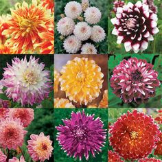 20 Mixed Dahlia Tubers May Include Singles Doubles Or Cactus Varieties Green Flowers, Colorful Flowers, Dahlia, Cactus, Hydrangea Paniculata, Things To Buy, Garden Plants, Shrubs, Lilac