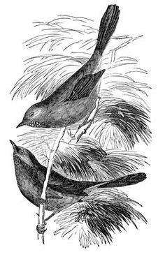Click on Images to Enlarge This is a pretty Engraving of two birds in a tree! This one comes from an early Natural History book. The original is the black and white one, but I made a brown one too for your Fall projects!