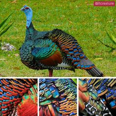 The Ocellated Turkey Puts the 'Trip' in Tryptophan