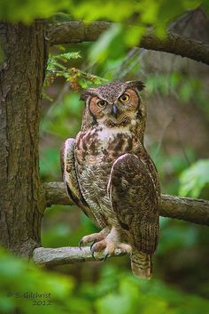 Gilchrist, S - Great Horned Owl, 2012