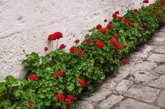 Cómo plantar geranios. ¿Estás pensando en plantar geranios? Si la respuesta es afirmativa, lo cierto es que esta planta de exterior es una opción excelente para decorar nuestro jardín, terraza o balcón. Existen más de 400 e...