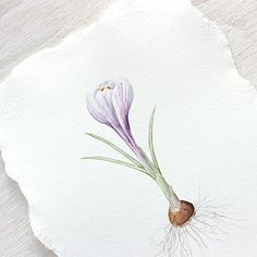 An original botanical watercolor painting of a striped purple crocus bulb. I dug this bulb from my garden and painted it in my studio. Painting a natural subjec