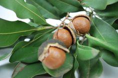 Macadamia Lotsa Nuts --- For more Australian native plants visit austraflora.com