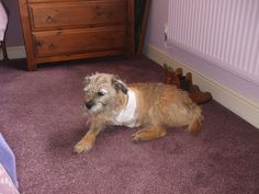 #Tripawds - Hi there, our border terrier, Benji, had to have his left front leg amputated last week due to cancer. He is coming along nicely but we used to walk him on a harness which is not going to be suitable now. I've been looking online at the Webmaster and the convert harness. He is not very long in the body although he's a good size for a Border terrorist, and am wondering if anyone could advise on the best to buy? Thanks in advance.