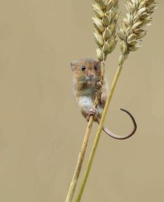 27 Adorable Photos Of Harvest Mice Living Their Tiny Lives By Dean Mason - Beauty of Planet Earth Cute Baby Animals, Animals And Pets, Funny Animals, Country Critters, Hamsters, Rodents, Harvest Mouse, Mouse Photos, Mouse Tattoos