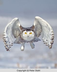A place for pictures and photographs. Raptor Center, Owl Moon, Beautiful Owl, Snowy Owl, Love Pet, Wildlife, Bird, Pets, Pictures
