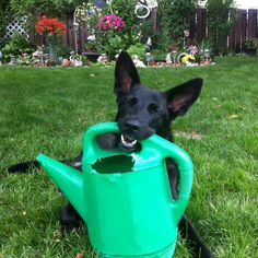 Noche found the watering can!