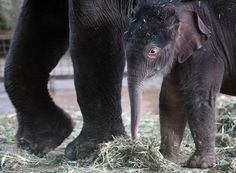 The Ten Cutest Pictures Of Newborn Elephant Anchali