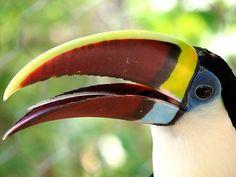 Toucan Exotic Bird Beak & Feather like Tongue Margarita Island Venezuela
