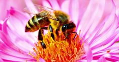 """What are the health benefits of royal jelly? You may """"bee"""" surprised: http://blog.lifeextension.com/2015/08/the-health-benefits-of-royal-jelly.html #royaljelly #nutrition"""