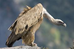 Vulture totem represents mystery, patience, and higher purpose.