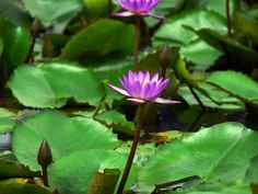 Nymphaea nouchali or Blue star water lily. by Sastha Prakash on Kerala, Sri Lanka, Lotus, Lily, Stars, Water, Flowers, Plants, Blue