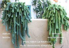 Sedum burrito and Sedum morganianum