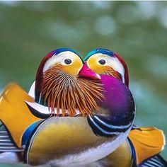 Mandarin Duck by . Cute Birds, Pretty Birds, Beautiful Birds, Animals Beautiful, Cute Animals, Animals Dog, Exotic Birds, Colorful Birds, Mandarin Duck