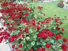 Lavaglut -Truly dark red flowers that last for a month, are rain tolerant and do not fade to a purplish color. It also self-cleans very well. However, it does get affected by black spot. Red Flowers, Red Roses, Rose Photos, Black Spot, Shrubs, Backyard, Dark Red, Rain, Color